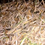 Serasah Bambu Hambat Gulma