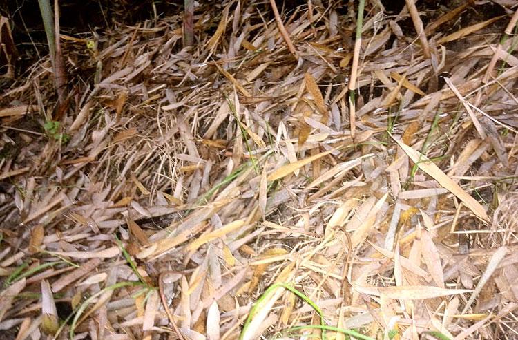 serasah-bambu