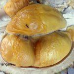 Tiga Calon Durian Top Dari Banjarnegara