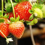 Stroberi Dan Gigi Putih