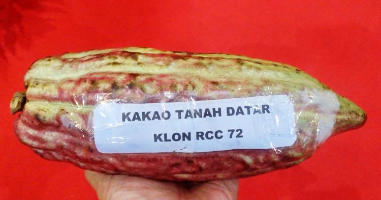 kakao-kabupaten-tanah-datar-klon-rcc-72