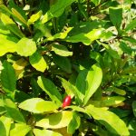 Tanaman Miracle Fruit Rajin Berbuah