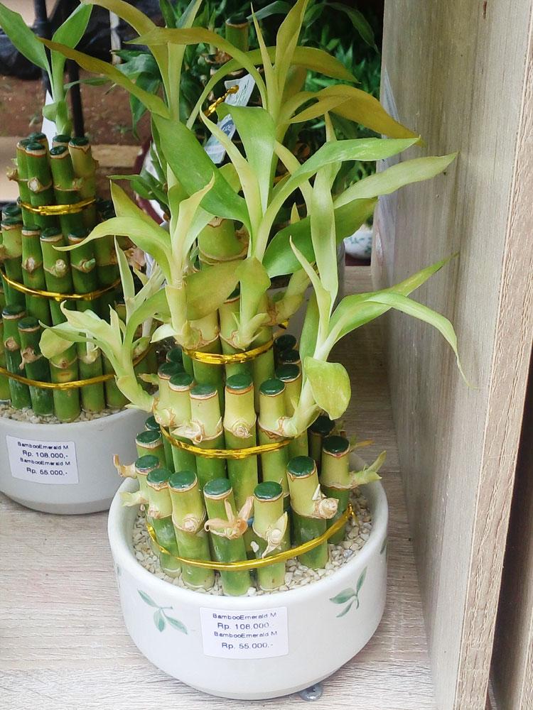 bambu-rejeki-emerald