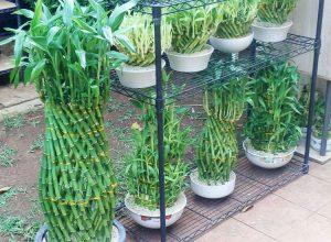 bambu-rejeki-pineapple-atau-nanas