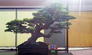 best-in-show-gebyar-bonsai-bandung-juara-2016-2