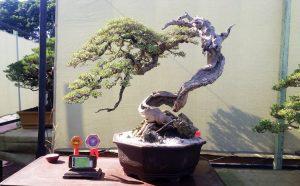 best-in-show-gebyar-bonsai-bandung-juara-2016-5