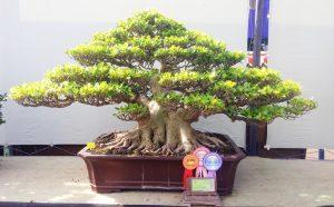 best-in-show-gebyar-bonsai-bandung-juara-2016-6