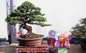 best-in-show-gebyar-bonsai-bandung-juara-2016-7