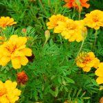 Bunga Kenikir Dongkrak Warna Kuning