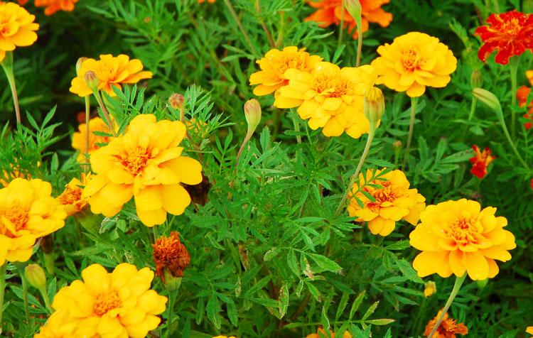 bunga-kenikir-pewarna-kuning