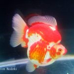 Discus & Goldfish Raiser Competition 2016