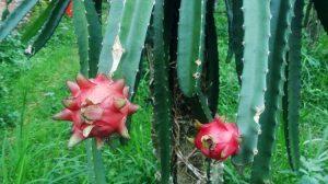 kebun-buah-naga-merah-serang-banten3