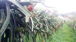 kebun-buah-naga-merah-serang-banten4