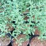 Berkebun Stevia Di Pot