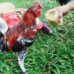 Jaga Stamina Ayam Ketawa