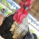 Kontes Ayam Ketawa Nasional (KAKNAS) 2016