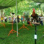Galeri Foto Kontes Ayam Ketawa Nasional IPB 2016