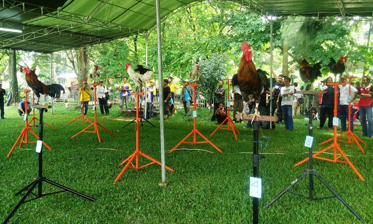 kontes-ayam-ketawa-nasional-ipb4