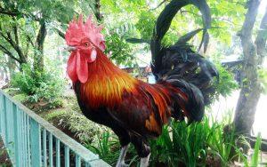kontes-ayam-ketawa-nasional-ipb7