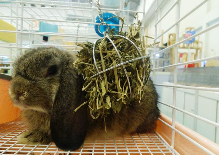 pakan-hay-untuk-kelinci