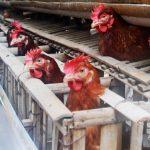 Biosekuriti Pada Ternak Unggas