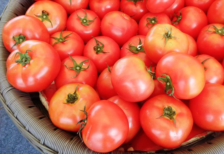 budidaya-tomat-recento