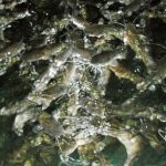 Ikan Pilihan Akuaponik
