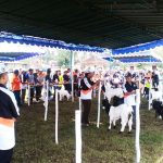 Galeri Kontes Kambing Kaligesing Bupati Cup 2017