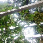 Bebeja Flona 2017 (2): Anggur Hijau Ukraina