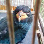 Burung Master Tengkek Buto