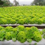 Tumpangsari Sayuran Kabupaten Bandung Barat