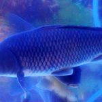 Si Cepat Bongsor Ikan Mas Marwana