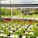 Kebun Hidroponik Di Punclut 105