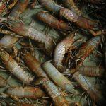 Kabar Lobster Air Tawar